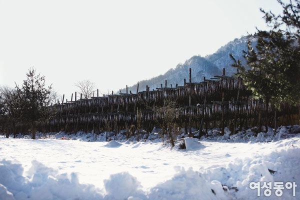 눈밭 위에서 구수하게 익은 명품           황태에 매혹되다