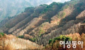 가녀린 자작나무 백만 그루 사이를 걷다