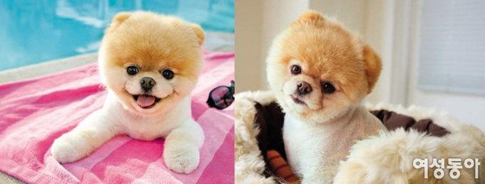 세상에서 가장 귀여운 강아지 Boo