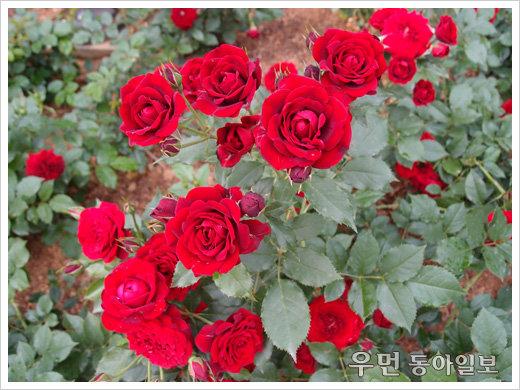 신경숙 '엄마를 부탁해' 표지에 장미꽃이 등장하는 이유는?… 김민철 에세이집 '문학 속에 핀 꽃들'