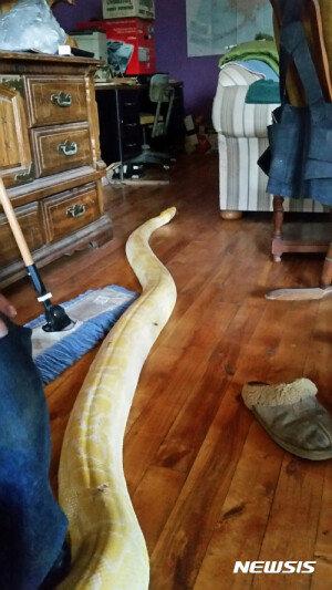 집안에 나타난 5.2m짜리 비단 구렁이
