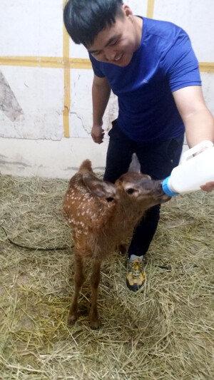 엄마 잃은 아기사슴, 사육사 정성에 건강 회복