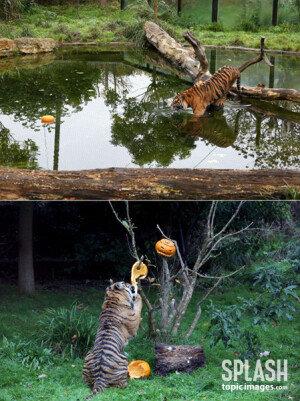 호박 부수는 호랑이? 할로윈데이를 준비하는 동물들