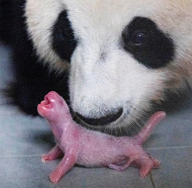 Baby Panda Born In Korea For The First Time The Dong A Ilbo