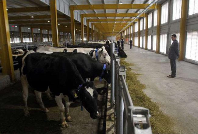 카타르 수도 도하 인근 사막에 조성된 젖소목장. [카타르 드리뮨 제공]