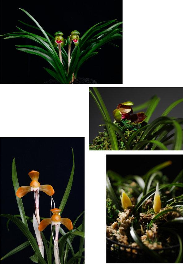 10 11 12 13 이른 봄에는  춘란의 꽃망울을 감상할 수 있다. 원앵두, 화랑, 황화소,  대홍보의 꽃들(위에서부터  시계 방향으로). [박해윤 기자]