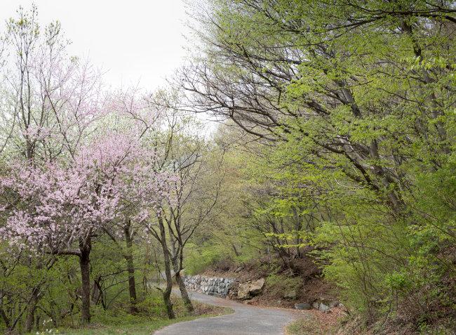 봄빛이 완연한 임도(林道)길.