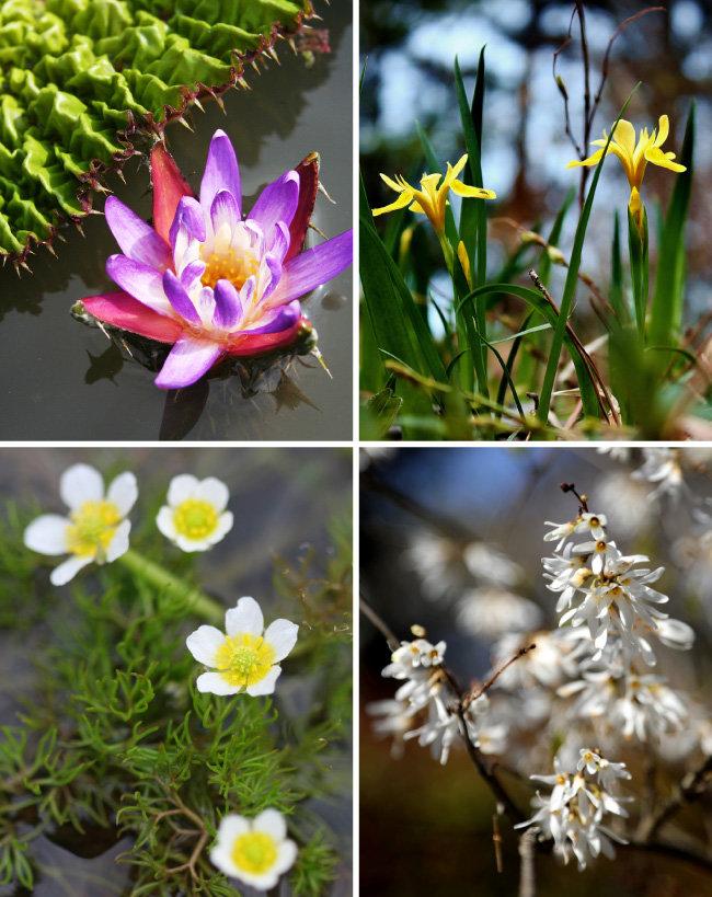 서식지외보전기관으로 지정된 천리포수목원의 멸종위기식물 지정종. 왼쪽 위부터 시계 방향으로 가시연꽃, 노랑붓꽃, 미선나무, 매화마름. 미선나무는 개체 수 증가로 2018년 멸종위기종에서 해제됐다. [사진제공·천리포수목원]