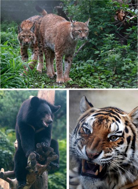 대표적 토종 맹수인 스라소니. 귀 끝에 안테나처럼 솟은 검은 털이 특징이다, 이빨을 드러낸 시베리아호랑이, 지리산 반달가슴곰을 대상으로 복원과 방사 사업이 활발히 진행되고 있다. (시계방향순)