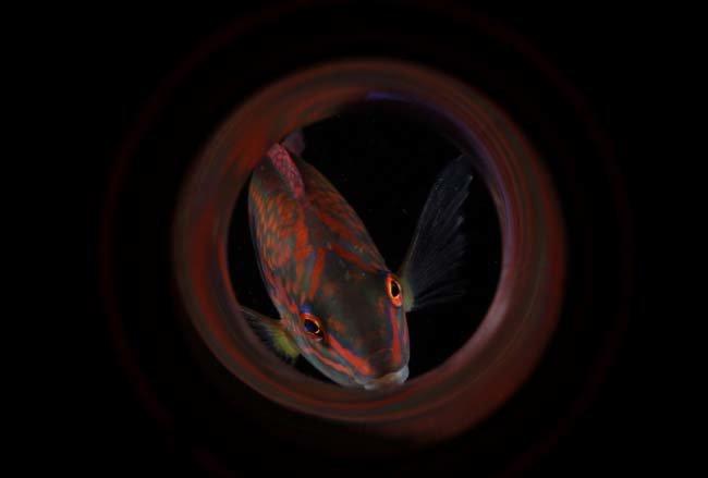 용치놀래기. 크로아티아 드라젠 고리키(Drazen Goricki)가 울릉도 물새바위에서 촬영했다. 국제부 물고기 부문 동상.