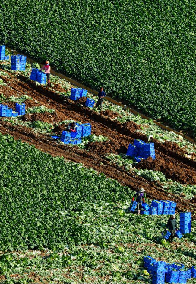 밭 곳곳을 채운 상자에 농부들이 애지중지 키운 배추가 담겼다.