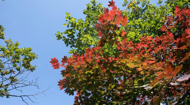 파란 하늘과 붉은 단풍.