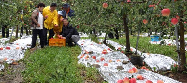사과나무 밑에 반사필름이 깔려 있다. [뉴스1]