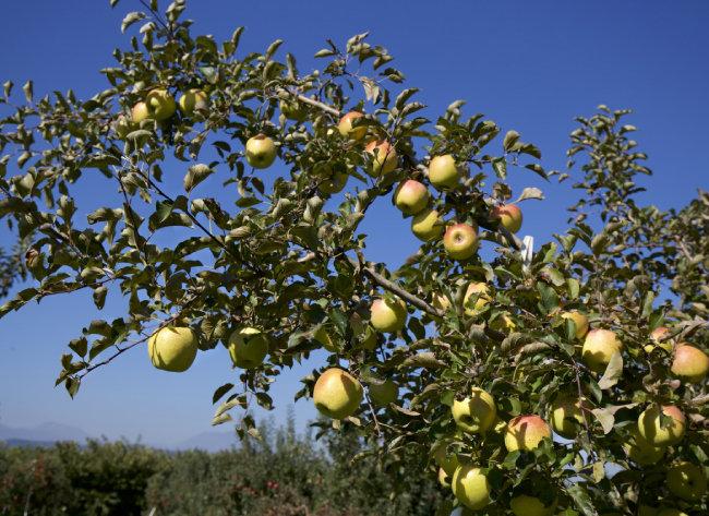 일본 아오모리현의 도키과수원. 현재 일본에서는 노란색 사과가 인기다.