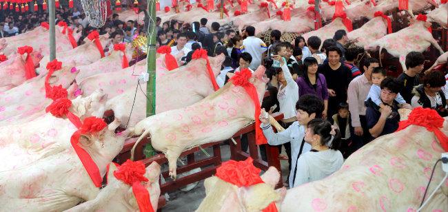 중국 광둥 '돼지 콘테스트'.