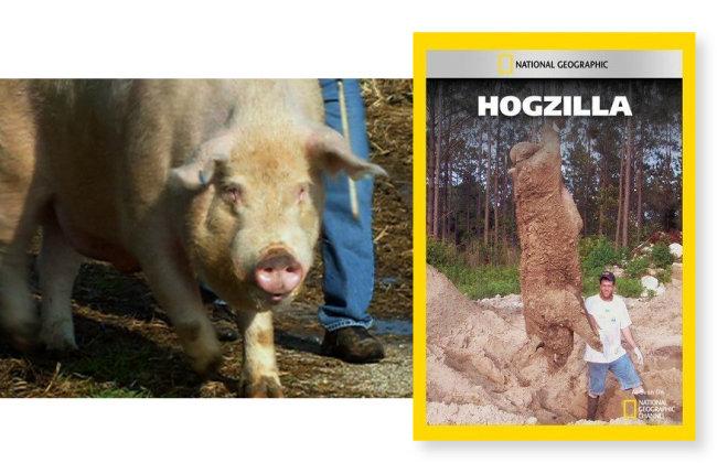호그질라(왼쪽)와 내셔널지오그래픽에 실린 호그질라 사진. [내셔널지오그래픽 홈페이지]