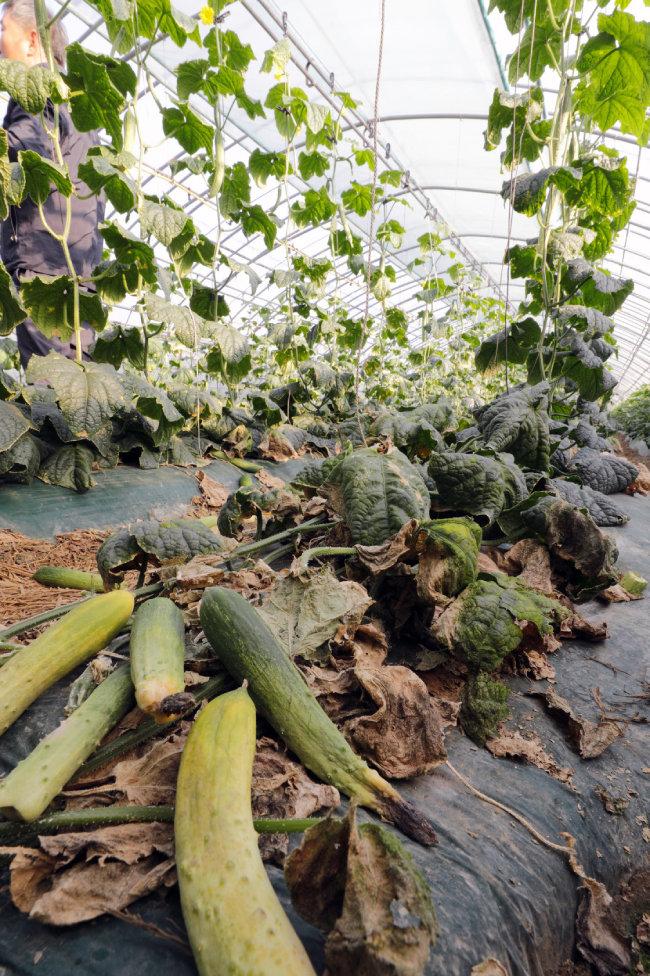 보를 개방하자 농작물이 물 부족으로 말라가고 있다.