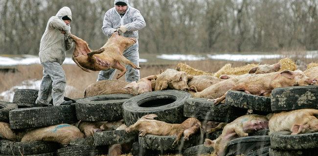 2017년 12월 20일 러시아 돼지농장에서 아프리카돼지열병에 감염된 돼지를 살처분하고 있다. [로이터]