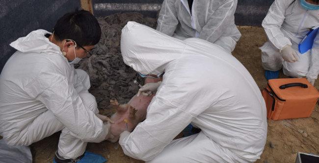 중국은 동북부 랴오닝(遼寧)성에서 처음 발생한 아프리카돼지열병 확산을 막기 위해 방역 조치에 총력을 기울이고 있다. [뉴시스]