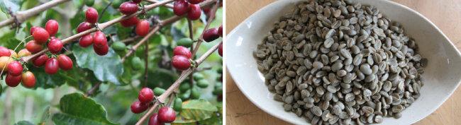 농익은 커피 체리(왼쪽)와 그린 빈(green bean) 커피 씨앗.