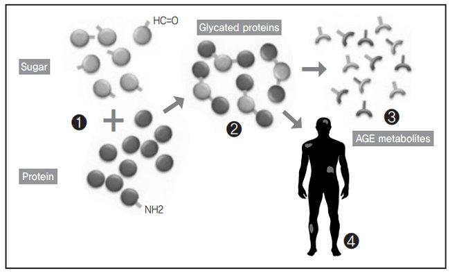 우리 몸에서 당과 단백질이 반응하면 당화단백질(당화혈색소가 이 상태다)이 생기고 추가 반응을 통해 최종당화산물(AGE)이 만들어진다. 나이가 들면서 몸 곳곳에 최종당화산물이 축적되면 만성질환 발생 가능성이 커진다.