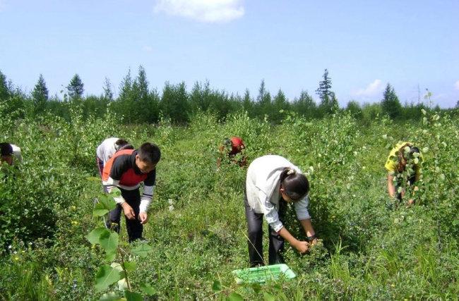 북한 학생들이 백두산 블루베리를 수확하는 모습.