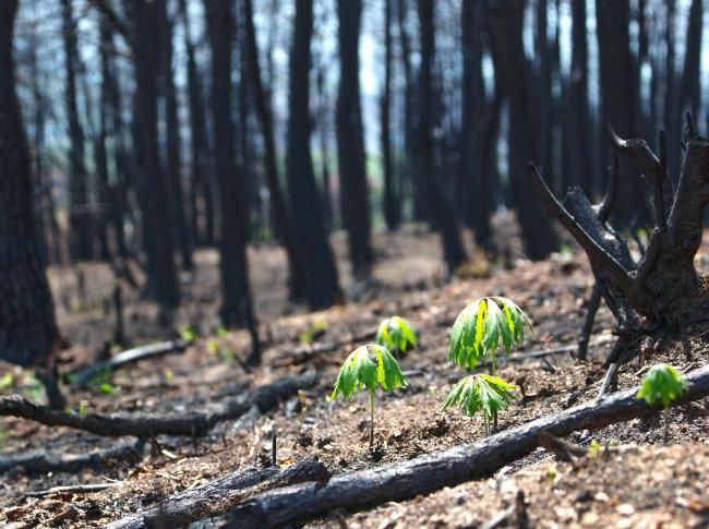 산불이 휩쓸고 지나간 자리에 초록의 식물이 자라고 있다.