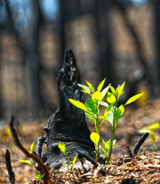 불에 탄 옹이에서 다시 새싹이 돋아나고 있다.