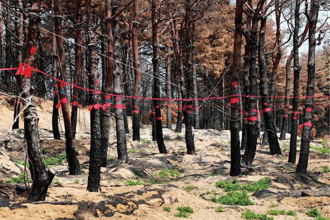 적송의 아름다움은 온데간데없고 검게 그을린 나무들만 남았다.