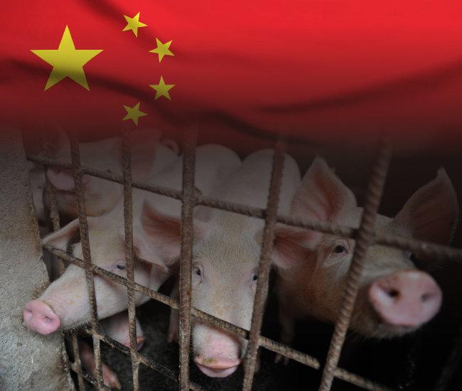 중국 푸젠성 장저우 축산 농가가 사육하는 돼지.