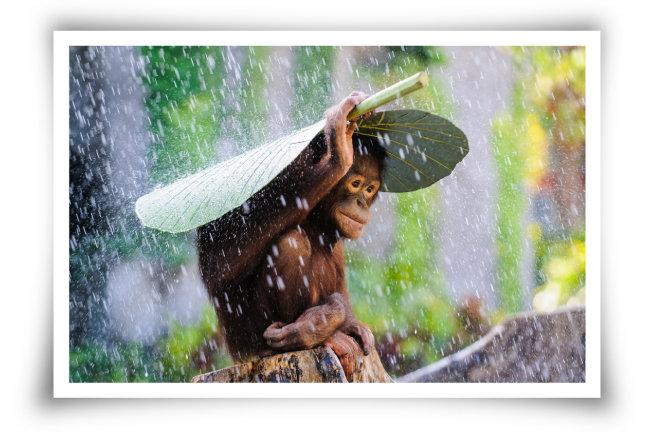 비야, 비야, 오지 말아라 인도네시아 발리에서 새끼 오랑우탄이 바나나 잎을 우산 삼아 비를 피하고 있는 모습을 담았다. 멸종위기종인 오랑우탄은 서식지 파괴로 개체 수가 점점 줄고 있다.