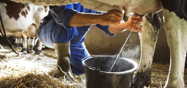송아지는 우유만 마셔도 매일 1kg 넘게 살이 찐다. 우유는 영양학적으로 우수하고 맛이 좋다. [shutterstock]