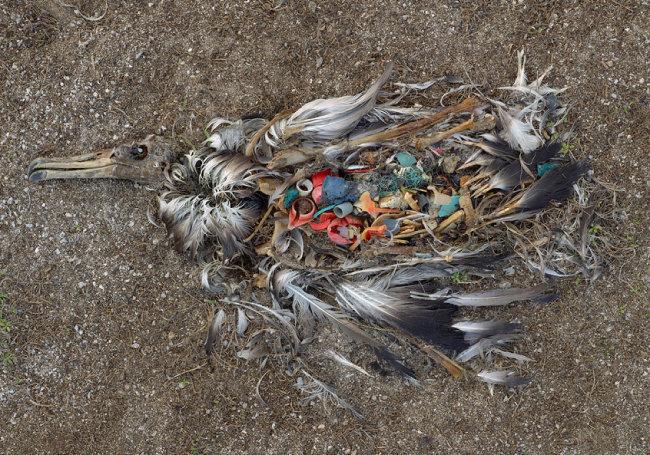 사진 작가 크리스 조던이 태평양 한복판 미드웨이 섬에서 촬영한 작품. 어린 알바트로스의 배에 플라스틱이 가득하다. [ⓒChris Jordan]