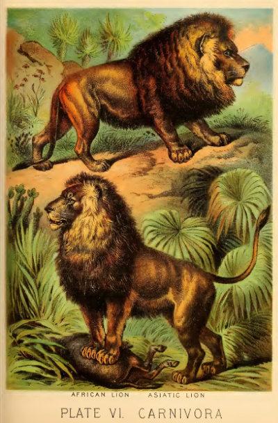 1880년 발행된 '존슨의 가정용 자연백과'에 실린 아프리카 사자(위), 아시아 사자(아래) 일러스트. [Johnson's Household Book of Nature]