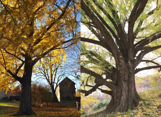 바트램 식물원 미국 최고령 은행나무(왼쪽). 경북도 기념물 109호 은행나무. [Bartram's Garden 제공, 청도군 제공]