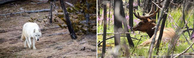 옐로스톤국립공원 늑대(왼쪽)와 엘크. [AP, 뉴시스]