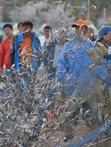2018년 4월 19일 부산 기장군 대변항에서 어민들이 잡은 멸치를 털어내고 있다. [박경모 동아일보 기자]