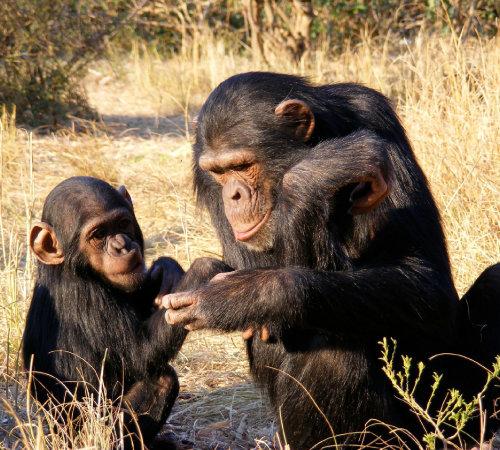 침팬지는 작은 동물을 사냥하거나 개미, 흰개미 등 곤충에서 단백질을 획득한다. [동아DB]