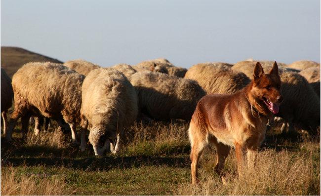 가축을 지키기 위해 개량된 목양견. [GettyImage]