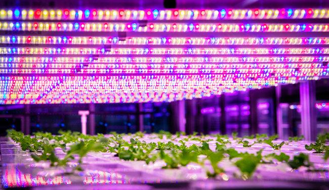 스마트팜은 태양광 대신 LED 조명을 이용해 채소를 키운다.