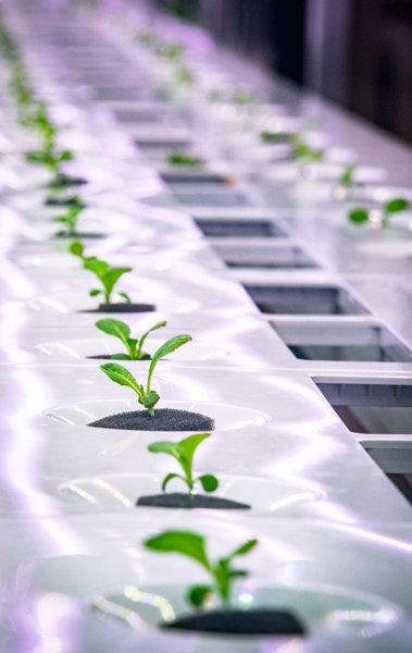 스마트팜에서 자라는 채소.