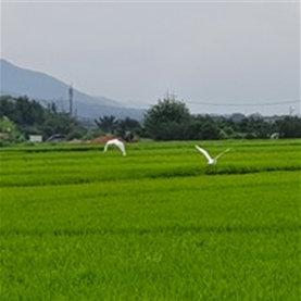 벼이삭이 팬 논 위를 나는 왜가리들-왼편의 산이 노천박물관인 경주 남산.