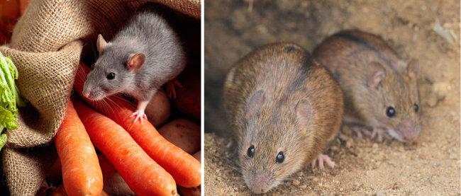 식량을 구하기 쉬운 곳에 보금자리를 마련하는 생쥐(왼쪽)와 유행성출혈열을 매개하는 등줄쥐. [GettyImage, 위키피디아]