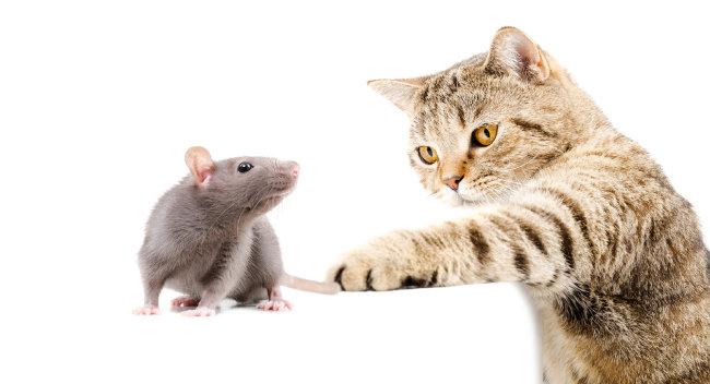 고양이는 쥐를 쫓아 인간 세상을 찾았다가 야생으로 돌아가지 않았다. [GettyImage]