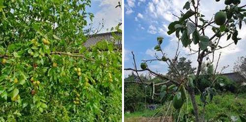 두 번의 강한 태풍으로 나무들은 옷이 갈가리 찢겨나가면서도 용케 생명의 싹을 틔울 열매를 남겨놓을 수 있었다. [신평 제공]