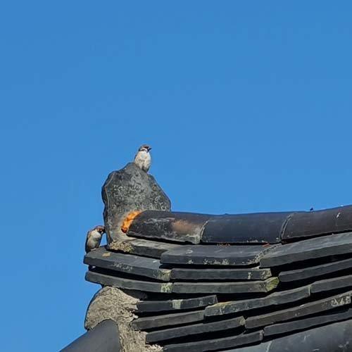 참새 두 마리가 기왓장 위에서 가을 햇볕을 쬔다. 그들은 무슨 생각을 하고 있을까. [신평 제공]