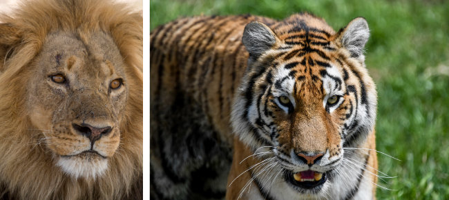 사자(왼쪽). 호랑이. [GettyImage]