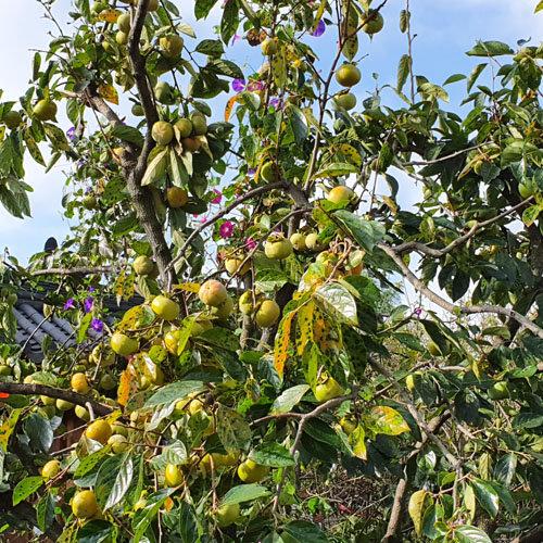 올해 이곳에는 모진 태풍이 두 번이나 지나갔다. 집의 단감나무는 용케 많은 열매를 남길 수 있었다. 나무는 처절한 사투를 벌였을 것이다. 모든 생명은 각자의 환경에서 이렇게 최선을 다한다. 숙연해지지 않을 수 없다. [신평 제공]
