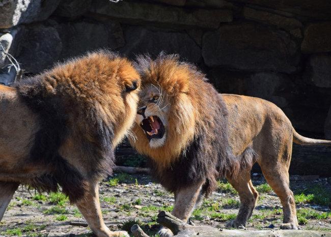 수사자 두 마리가 싸우고 있다. [GettyImage]