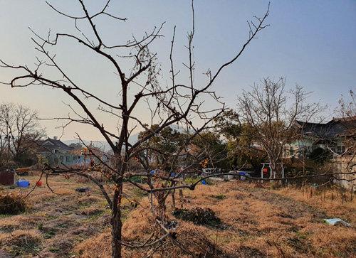 가지치기를 한창 하고 있다. 가지치기한 나무는 화장을 한 새색시와 같다. 몸가짐을 곱게 새로이 해 아름다운 봄을 기다린다. 나무가 높으면 다람쥐처럼 나무 위에 올라가 잘라내야 한다. 늙은 나이에 나무를 타려니 조금 무섭기는 하다. 사람도 나무도 애정을 갖고 돌봐주면 다르다. 가지치기 한 나무는 그 형태가 예쁘게 나타날 뿐만 아니라, 유실수는 소출이 훨씬 많아진다. 한 일주일은 더 이 작업을 해야 할 것 같다. [신평 제공]